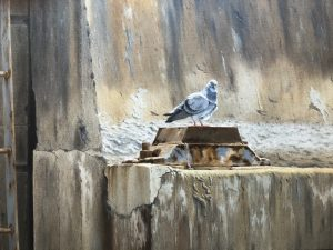 Oil of Dove by artist Rob Macintosh
